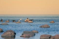 Een mooi de lentelandschap bij het strand met een kolonie van vogels Zwanen, aalscholvers die, meeuwen op de stenen bij het stran Stock Afbeeldingen