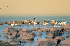 Een mooi de lentelandschap bij het strand met een kolonie van vogels Zwanen, aalscholvers die, meeuwen op de stenen bij het stran Royalty-vrije Stock Foto