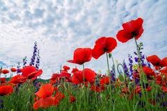 Een mooi gebied van papavers, rode bloemen tegen de hemel Knippend inbegrepen weg stock afbeelding