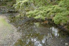 Een mooi hert is drinkwater ter plaatse in Nara Park Nara Park is een openbaar park dat in de stad van Nara, Japan wordt gevestig stock foto's