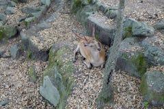 Een mooi hert ligt op de gevallen bladeren in Nara Park Nara Park is een openbaar park dat in de stad van Nara, Japan wordt geves stock fotografie