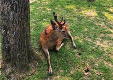 Een mooi hert ligt op de grond in Nara Park Met de weide op de achtergrond Nara is de hoofdstad van Nara royalty-vrije stock afbeeldingen