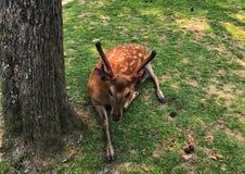 Een mooi hert ligt op de grond in Nara Park Met de weide op de achtergrond Nara is de hoofdstad van Nara stock foto's