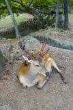 Een mooi hert ligt op de grond in Nara Park Nara Park is een openbaar park dat in de stad van Nara, Japan wordt gevestigd royalty-vrije stock afbeeldingen