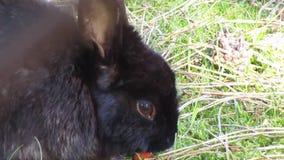 Een mooi hongerig zwart konijntje die wortel eten bij het strand van Jericho, Vancouver, Maart 2018 stock footage