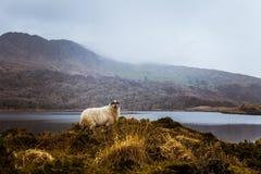 Een mooi Iers berglandschap in de lente met schapen Stock Afbeeldingen