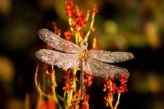 Een mooi insect van een vulgatum van libelsympetrum tegen een achtergrond van groene vegetatieve natuurlijke achtergrond toning stock foto