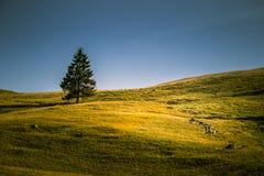 Een mooi Karpatisch landschap met één enkele spar Royalty-vrije Stock Foto