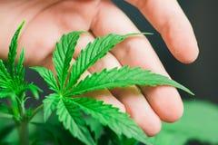 Een mooi klein cannabisblad in de handen van een mannelijk concept het cultiveren van marihuana Royalty-vrije Stock Afbeelding