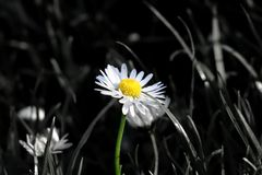Een mooi kleuren solo madeliefje in het midden van weide wanneer de bloei en de stam in kleur en rest van het beeld zijn is in zw royalty-vrije stock afbeelding