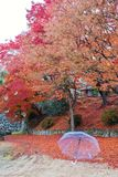 Een mooi landschapsbeeld van de rode en gele bladeren van de kleurenboom in de herfst stock afbeelding