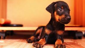 Een mooi puppy van het doberman ras bekijkt de camera stock video