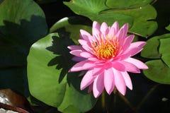 Een mooi roze waterlily of lotusbloembloem royalty-vrije stock afbeeldingen