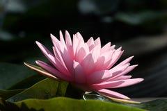 Een mooi roze waterlily of lotusbloembloem royalty-vrije stock afbeelding