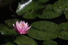 Een mooi roze waterlily of lotusbloembloem stock foto's