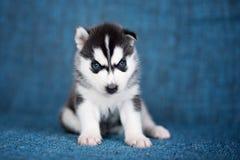Een mooi Schor puppy met vrij blauwe ogen Royalty-vrije Stock Foto's