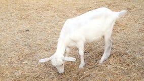 Een mooi wit jong geitje kauwt voedsel in een pen op het landbouwbedrijf landbouwbedrijf en vee stock footage