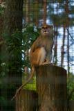 Een mooie aap in de dierentuin Stock Fotografie