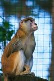 Een mooie aap in de dierentuin Royalty-vrije Stock Afbeelding