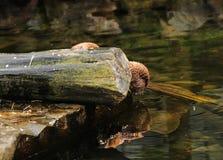 Een mooie Aziatische kleine gekrabde otter die op het water kijken en zeer tot aardig portret in het water leiden stock foto's