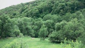 Een mooie berg met een bos in de afstand van schapen het weiden stock videobeelden