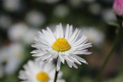 Een mooie bloem Stock Afbeelding
