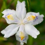 De bloemen van de iris Stock Foto