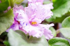 Een mooie bloem van viooltjes Stock Afbeeldingen