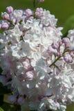 Een mooie bos van lilac close-up Stock Foto's