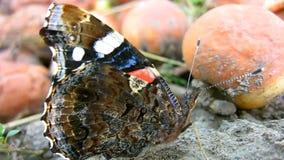 Een mooie bruine en rode vlinder warmt aan de zon en het stellen op Zijn gezicht is close-up stock videobeelden
