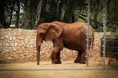 Een mooie bruine olifant die op één plaats in de safari dansen stock fotografie