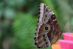 Een mooie bruine vlinder op een voedsel brack Stock Foto's