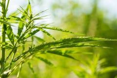 Een mooie cannabis die in de tuin groeien De close-up van hennepbladeren stock afbeeldingen