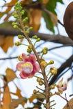 Een mooie die macro van een bloem van ongebruikelijke guianensis van Couroupita van de kanonskogelboom wordt geschoten stock foto