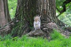 Een mooie eekhoorn in het park in de ochtend Stock Foto's