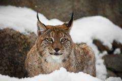 Een mooie en sterke onbetrouwbare lynx zit stil liggend volledig gezicht in de sneeuw en bekijkt u het lachen ogen royalty-vrije stock afbeelding
