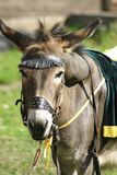 Een mooie ezel onder het zadel royalty-vrije stock afbeelding