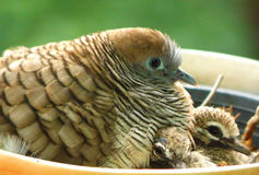 Een mooie familie van Gestreepte duiven Stock Fotografie
