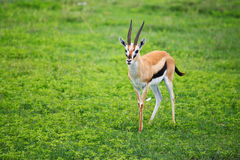De gazelle van Thomson Royalty-vrije Stock Foto