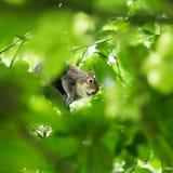 Een mooie gemeenschappelijke eekhoorn in een Londons-park die voedsel zoeken Stock Afbeeldingen