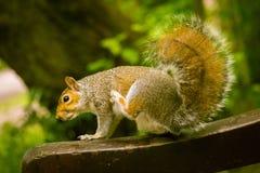 Een mooie gemeenschappelijke eekhoorn in een Londons-park die voedsel zoeken Stock Foto's