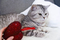 Een mooie gestreepte katkat ligt Raskat Schot Royalty-vrije Stock Foto