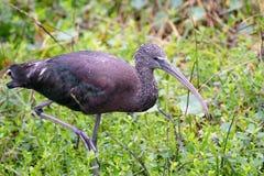 Een mooie glanzende Ibis wandelt door het gras royalty-vrije stock fotografie
