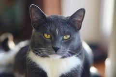 Een mooie grijze volwassen kat met gele ogen royalty-vrije stock foto