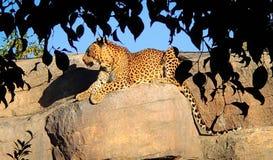 Een mooie grote luipaard ligt stil op een rots stock fotografie
