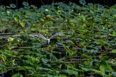 Een Mooie Grote Witte Aigrette tijdens de vlucht royalty-vrije stock afbeeldingen