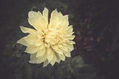 Een mooie heldere gele Dahlia genoemd wordt Mysticusillusie tegenover elkaar gesteld tegen zijn donkere bladeren met exemplaarrui royalty-vrije stock fotografie