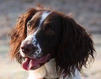 Een mooie het werk Engelse jachthond van het aanzetsteenspaniel Royalty-vrije Stock Afbeeldingen
