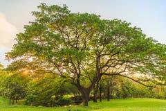 Een mooie Indische Okkernoot van het Oosten op het gazon in het park Royalty-vrije Stock Fotografie