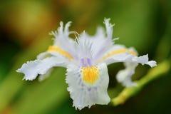 Een mooie irisbloem met blauwe en gele patronen van kleuren; natuurlijke symmetrie van de bloem; groene achtergrond stock foto's